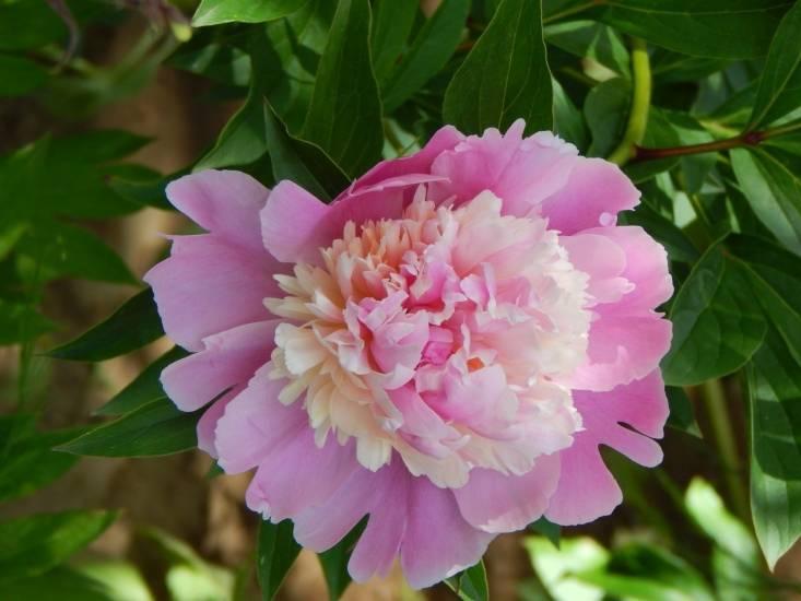 Выращивание древовидного пиона: посадка, размножение и уход в открытом грунте