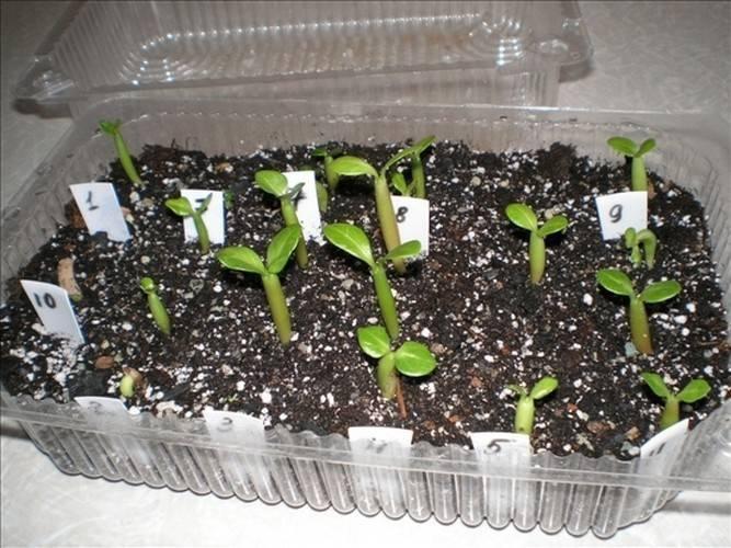 Как вырастить гортензии из семян?