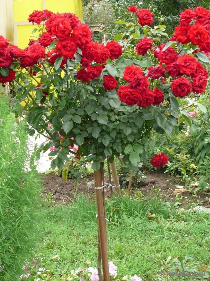 Роза флорибунда нина вейбул: фото и описание, посадка и уход