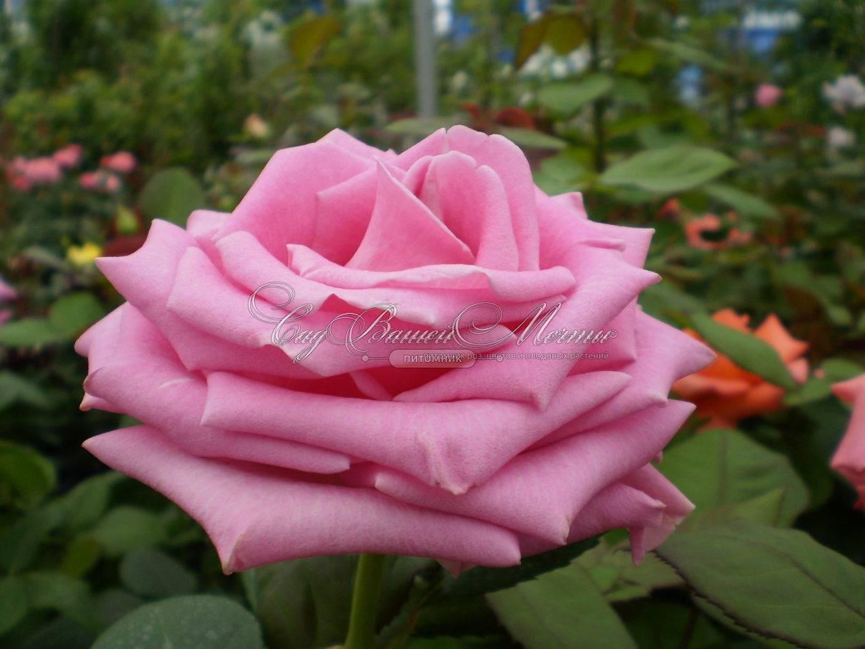 Роза аква: описание и фото