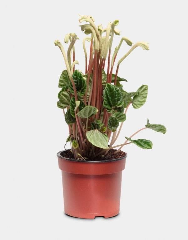 Правила ухода за пеперомией магнолиелистной: полив и удобрение, формирование цветка