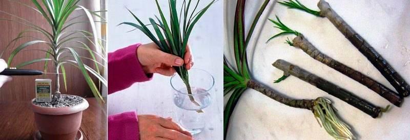 Юкка: размножение, посадка, выращивание, пересадка и уход + фото