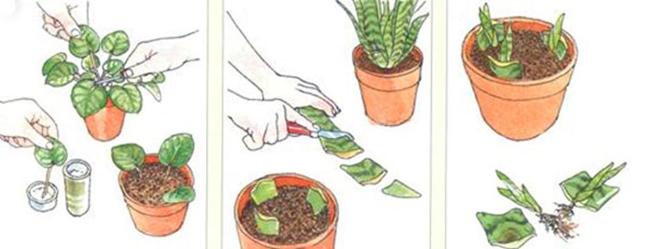 Бесполое размножение у растений