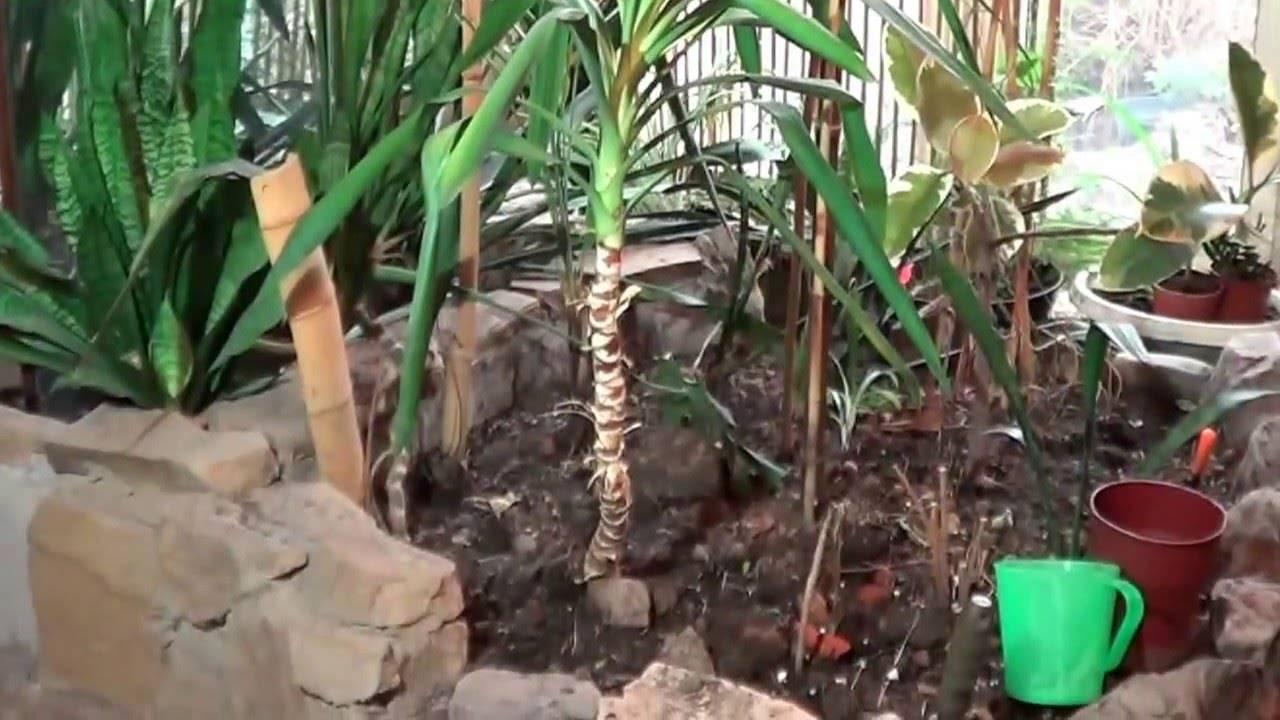 Пальма драцена: уход в домашних условиях. советы для начинающих цветоводов
