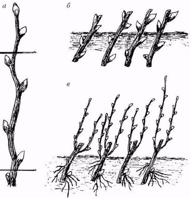 Размножение барбариса черенками весной
