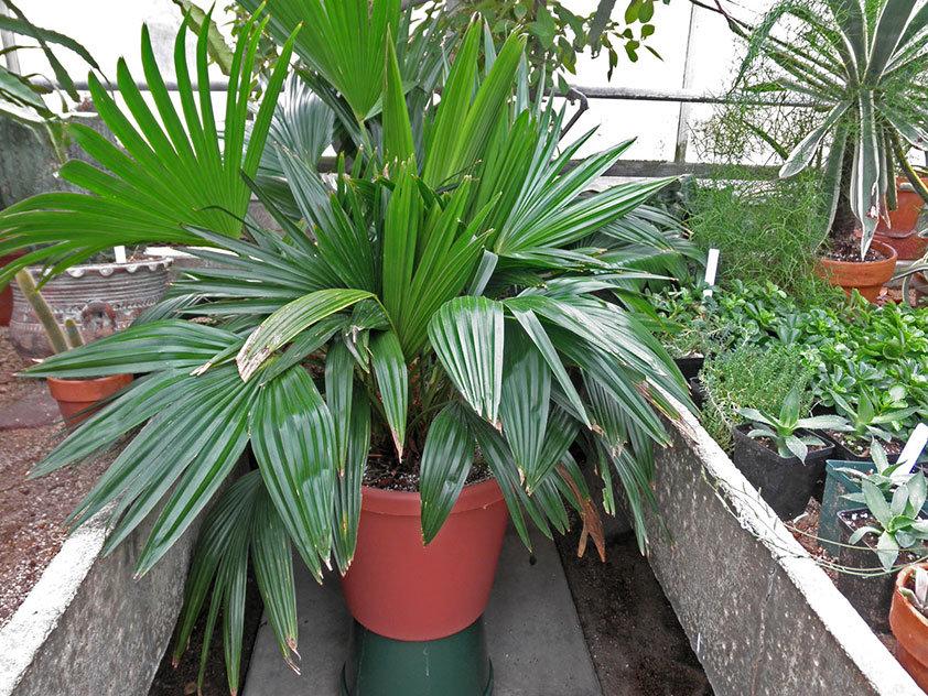 Ливистона, правила ухода за растением в домашних условиях