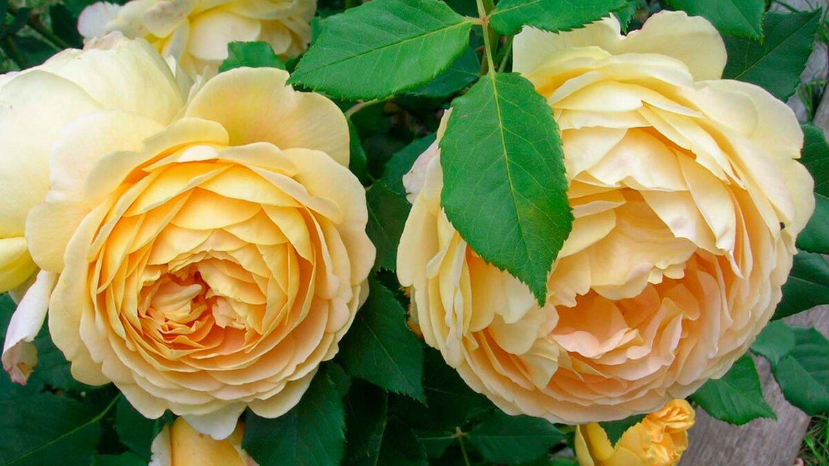 Королева сада: особенности внешнего вида и характерные черты розы голден селебрейшен