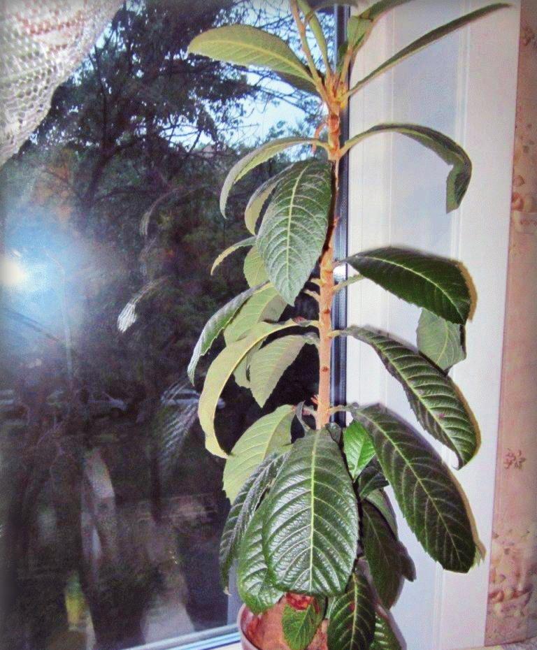 Мушмула фрукт что это: как вырастить в домашних условиях, польза и вред, украшение ландшафтного дизайна