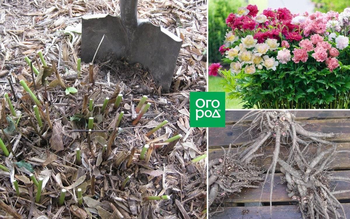 Когда пересаживать пионы весной, летом и осенью