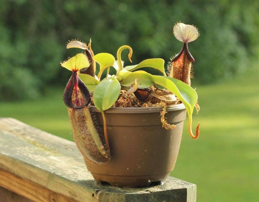 Непентес - nepenthes: фото, условия выращивания, уход и размножение | happyflora.ru