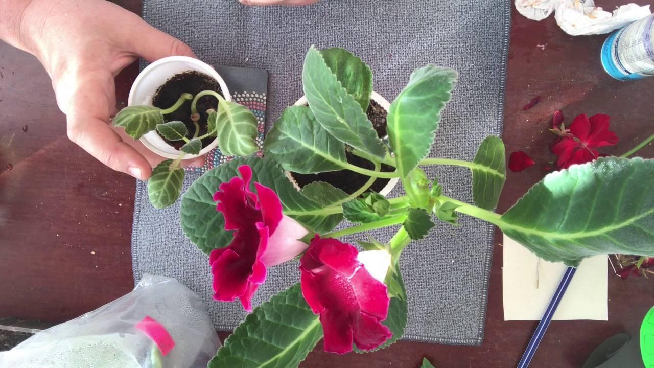 Глоксиния: уход в домашних условиях, выращивание из семян, фото