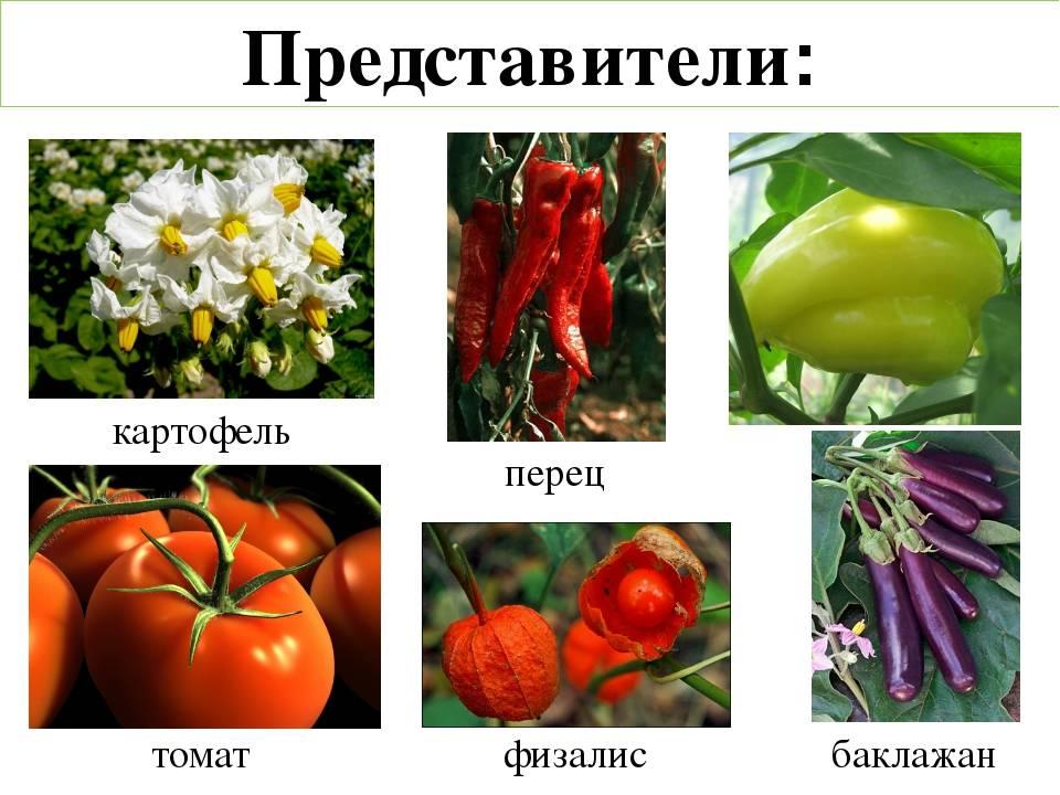 Картинки культурных растений пасленовых