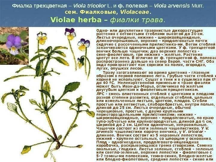 Фиалка трехцветная: фото, лечебные свойства травы, применение лекарственного растения в медицине