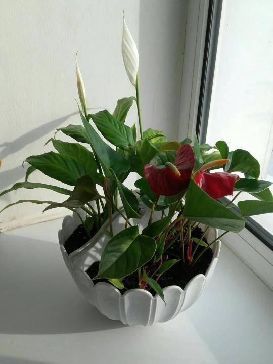 Спатифиллум уход в домашних условиях, размножение, цветение