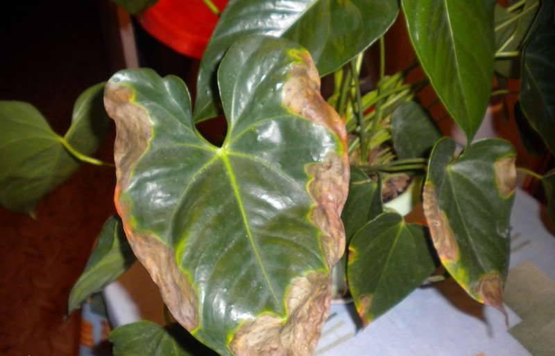Антуриум болезни листьев фото, как лечить, вредители антуриума