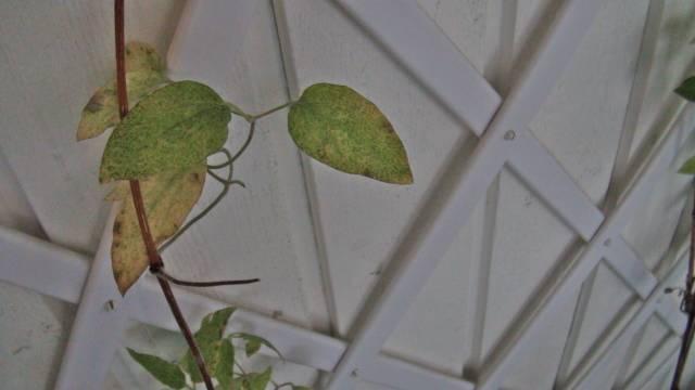 Клематисы: болезни, почему желтеют листья у клематиса, и что делать