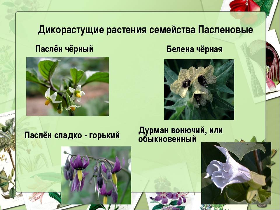 Семейство растений паслёновые. общая характеристика.