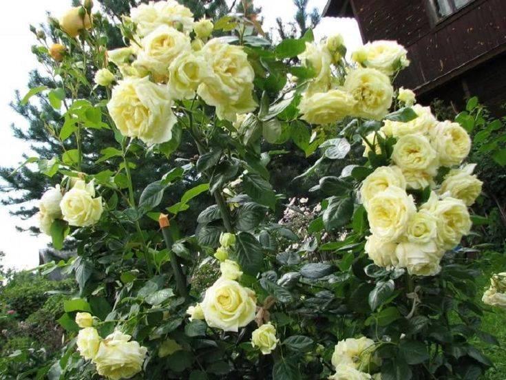 Зимостойкие сорта плетистых роз, цветущие все лето