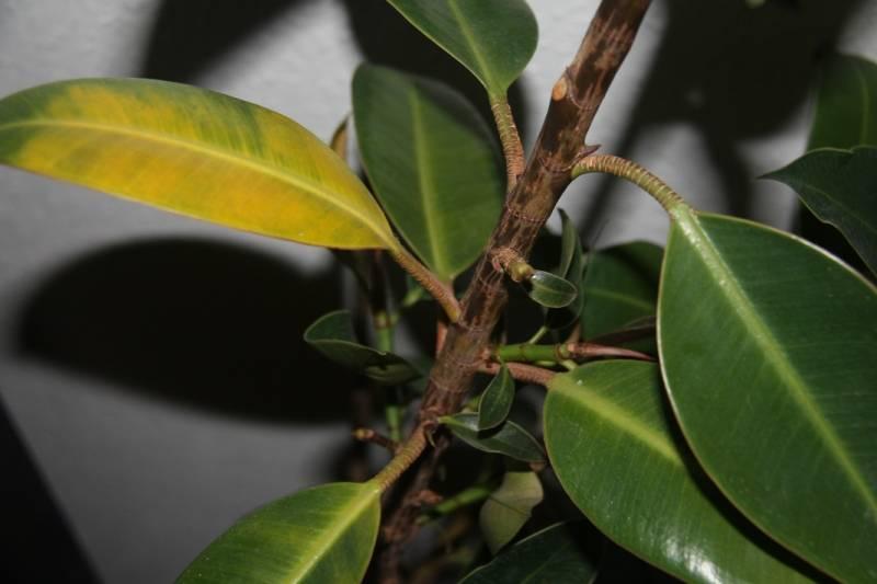 Что делать, если у фикуса бенджамина желтеют и опадают листья?