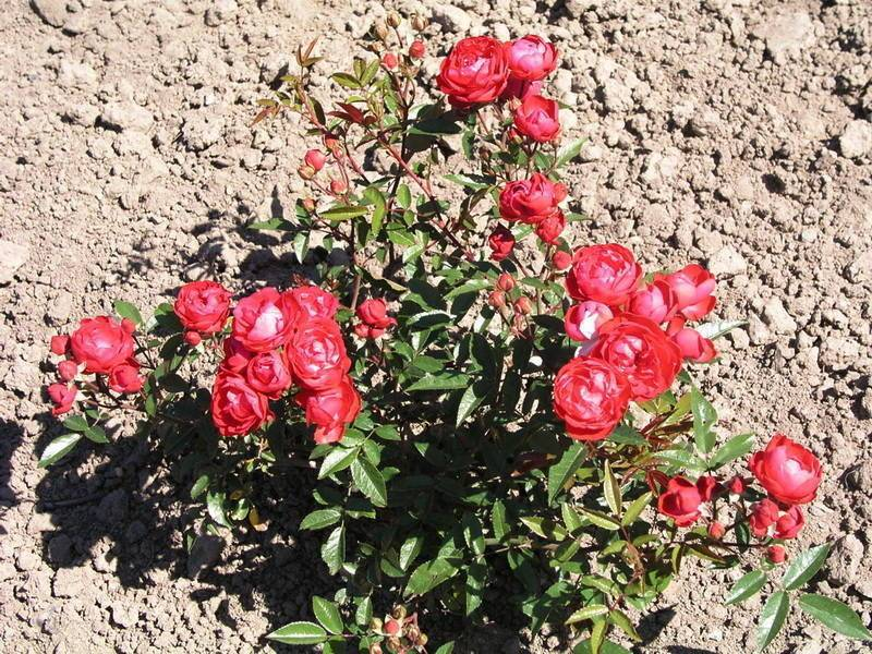 Роза полиантовая: ароматная дымка цветочной россыпи в вашем саду