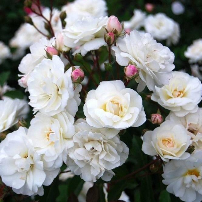 Описание пышноцветущей розы сорта лавендер айс:посадка и уход за культурой