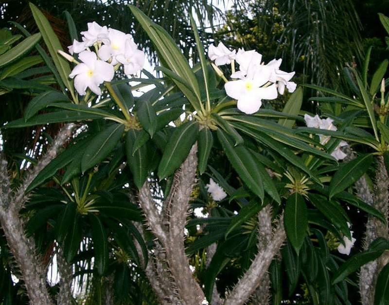 Пахиподиум (pachypodium). уход, период покоя, размножение дома.