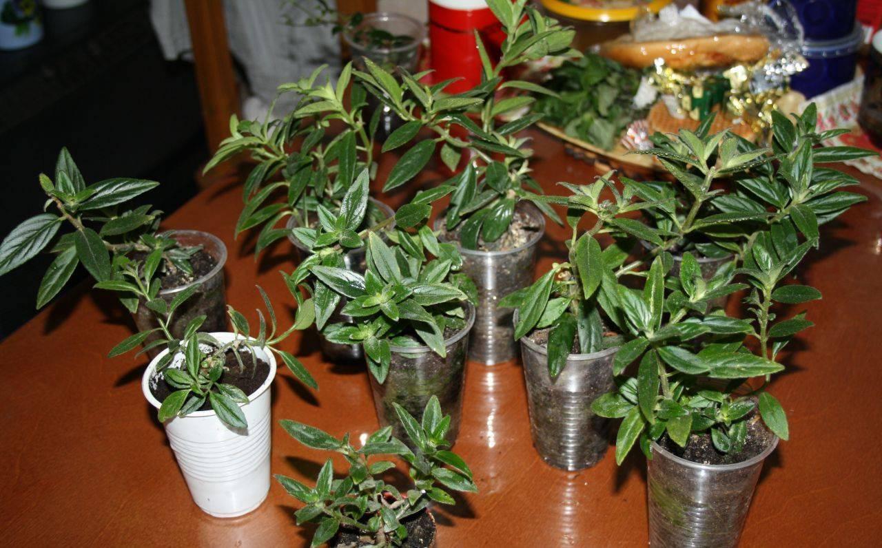 Кампанула уход в домашних условиях: посадка, выращивание из семян, размножение, что делать если засохла?