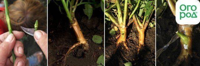 Прививка розы на шиповник: как это сделать весной и летом, пошаговая инструкция