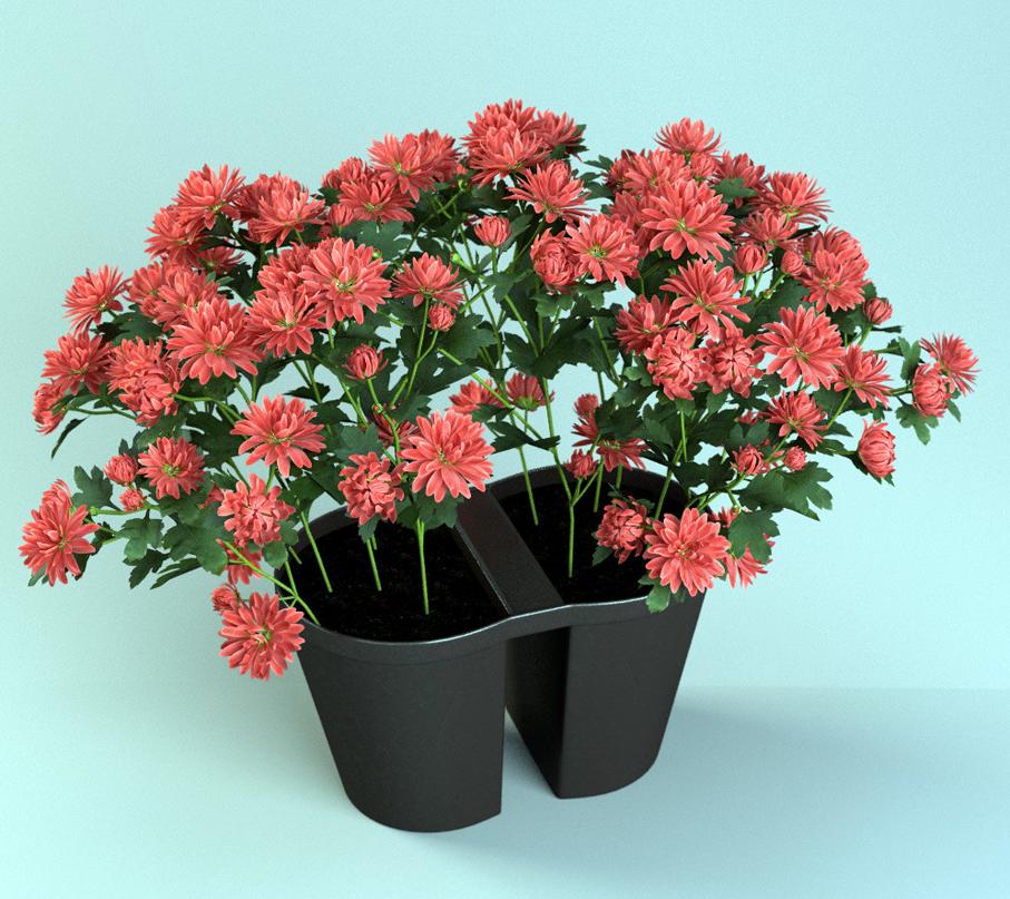 Как сохранить горшечные хризантемы до весны?