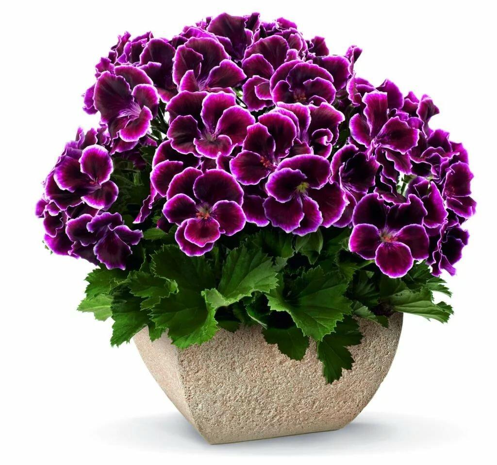 Королевская герань — условия для цветения