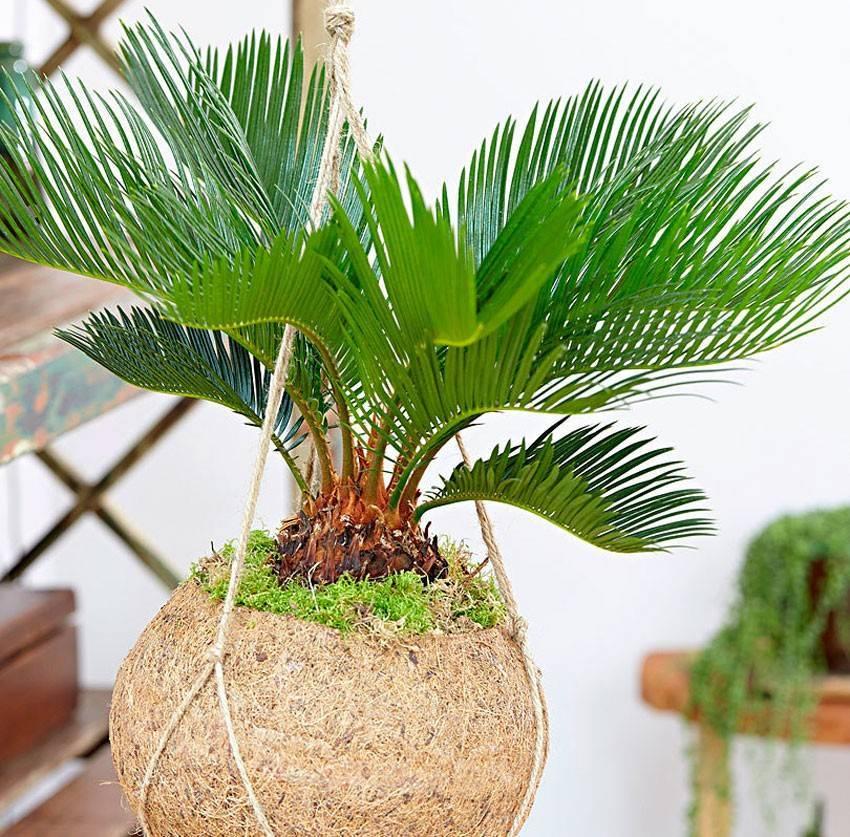 Растение цикас революта: описание, уход и пересадка в домашних условиях