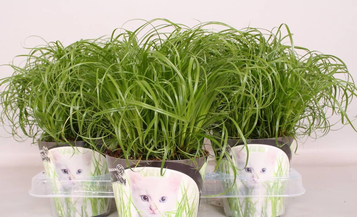 Циперус: сорта и разновидности, посадка и уход в домашних условиях