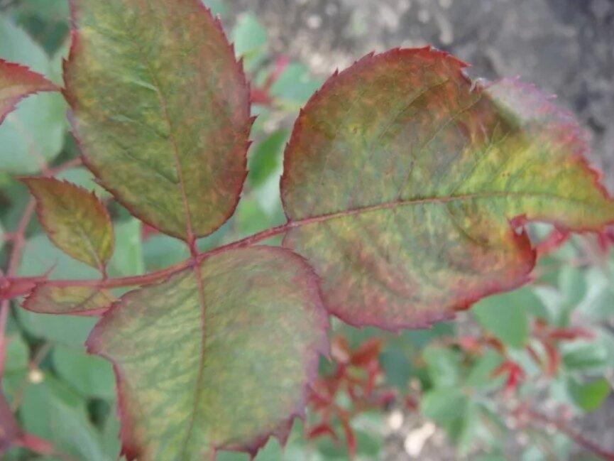 Что делать и почему у розы скручиваются листья