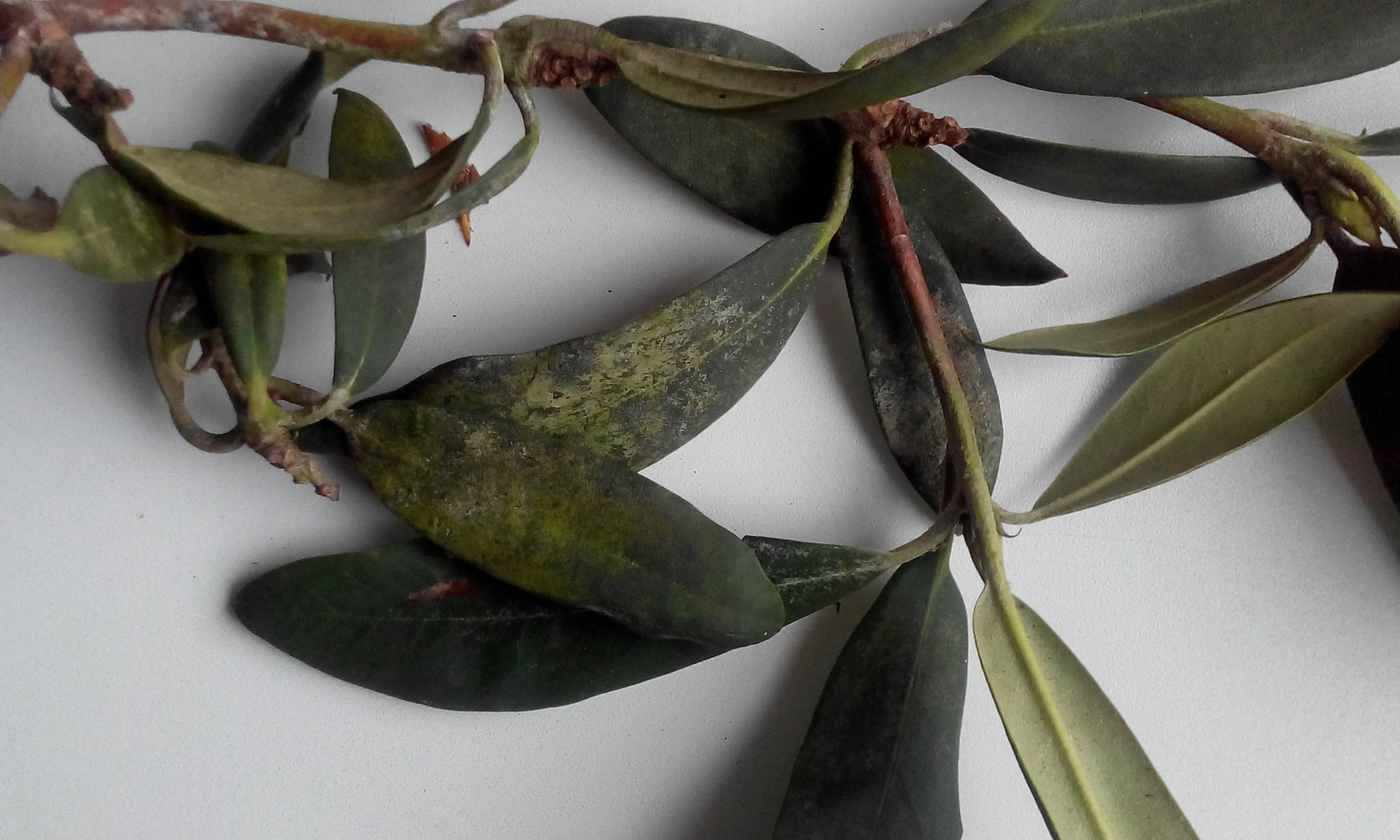 Почему азалия сбрасывает листья, что делать, если скидывает зеленые, по какой причине в домашних условиях осыпаются все бутоны, и как спасти комнатный рододендрон?