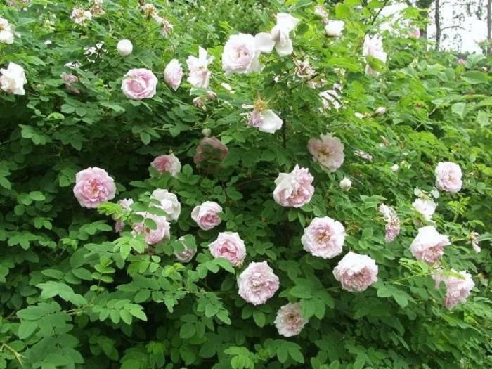 Агротехника выращивания канадской парковой розы морден сентенниал: как ухаживать