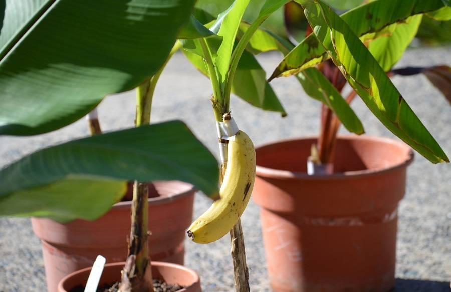 Бананы, выращивание растений из семян в домашних условиях