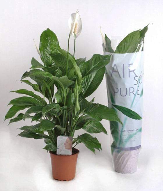 Характеристика неприхотливого растения — спатифиллума уоллиса. как размножать и ухаживать за цветком?