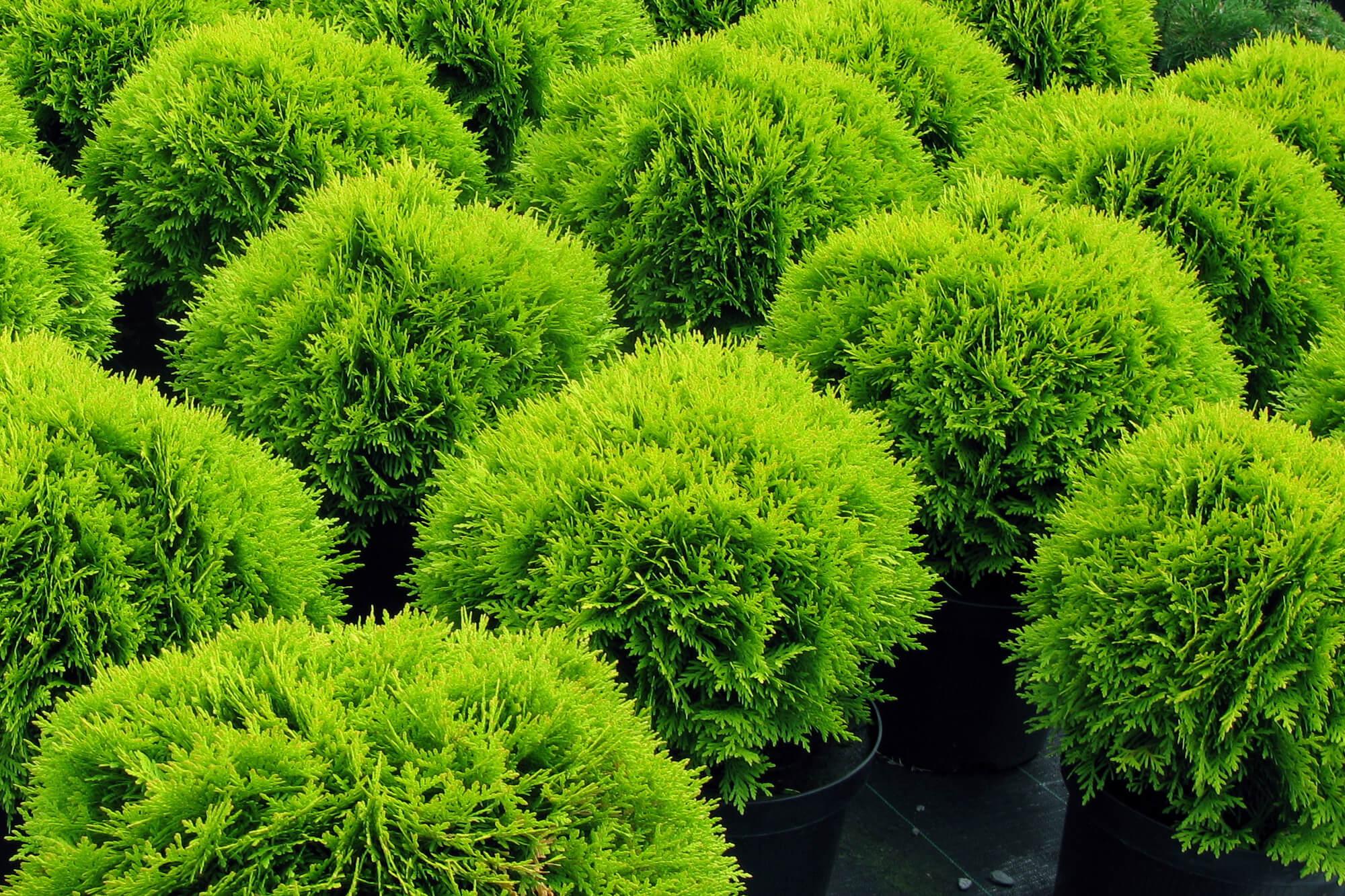 Шаровидные круглые туи западные, желтая, посадка и уход в саду, выращивание и размножение
