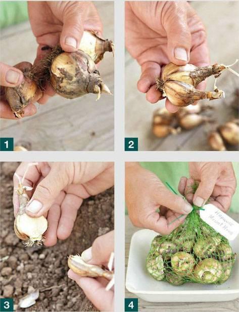Нужно ли выкапывать луковицы нарциссов и когда это делать