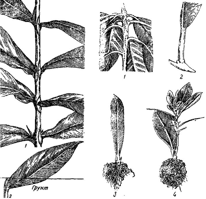 Размножение флоксов черенками: правила и пошаговая инструкция