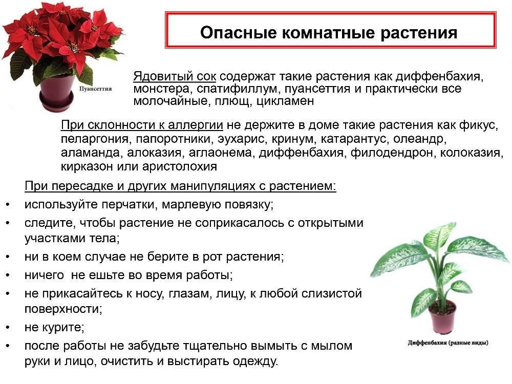 Ядовитые комнатные растения опасные для человека