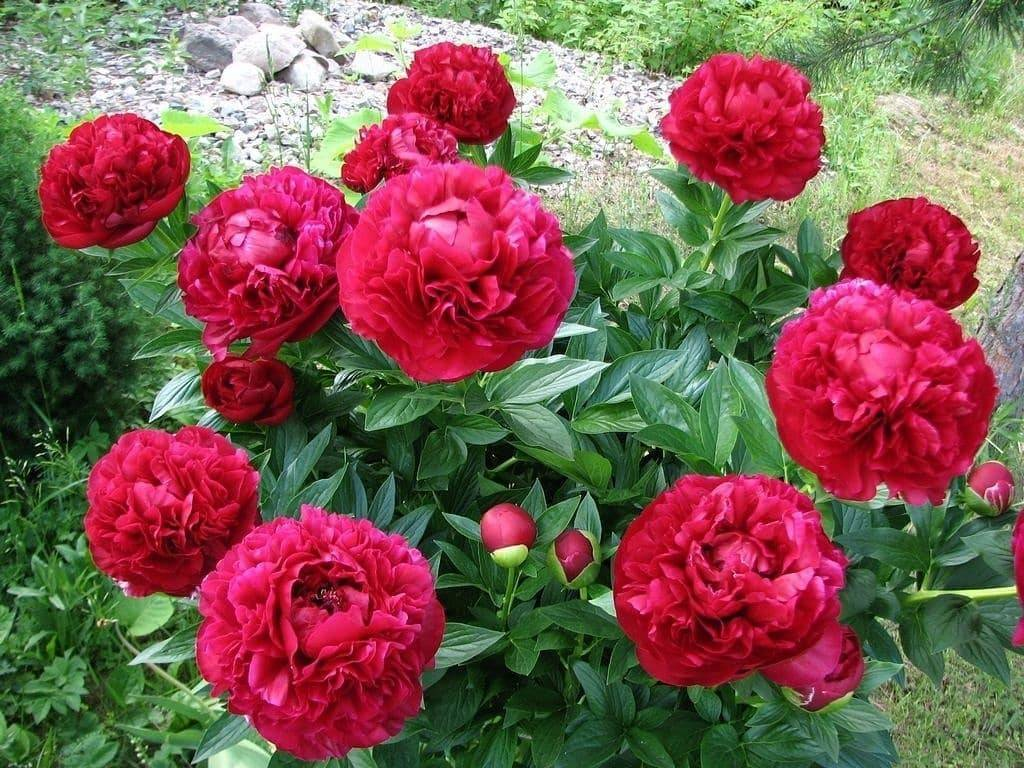 Пион генри бокстос (henry bockstoce) — выращивание в открытом грунте