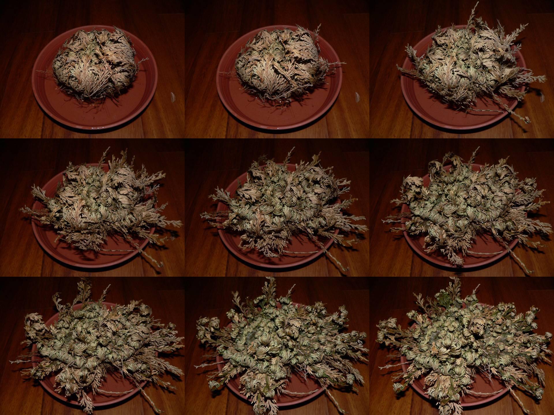 Селагинелла: фото цветка, уход за розой иерихона, мартенсой, йори и другими видами комнатных растений в домашних условиях, и что делать, если сохнут корни?
