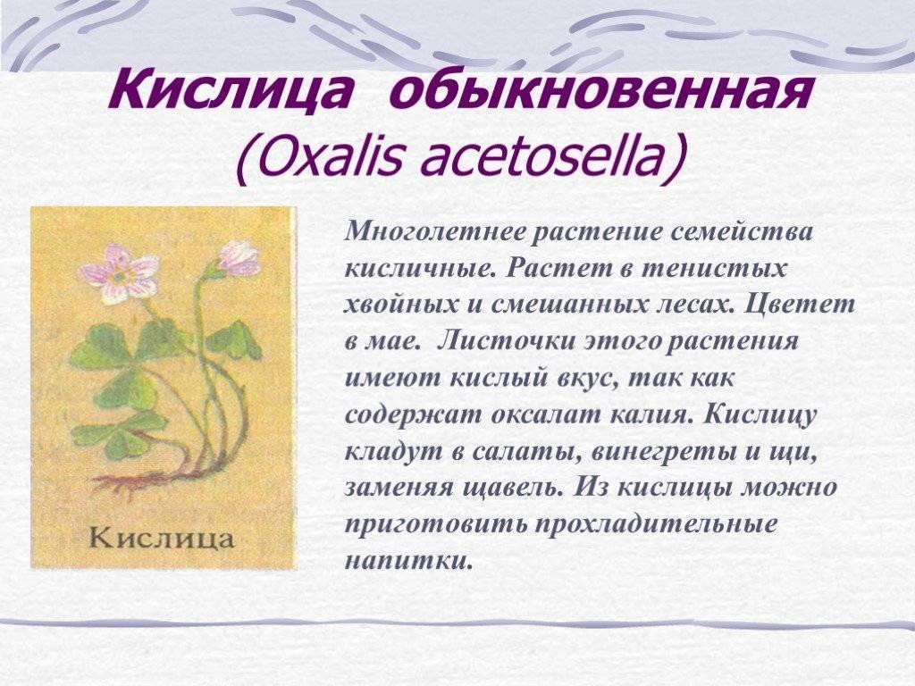 Кислица обыкновенная (заячья капуста): описание, свойства, применение, противопоказания, рецепты