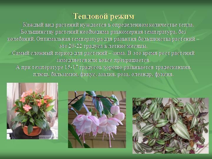Комнатное растение рео, или традесканция покрывальчатая