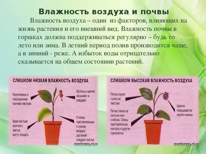 Сеткрезия или традесканция пурпурнолистная, выращиваем тропическую гостью в домашних условиях