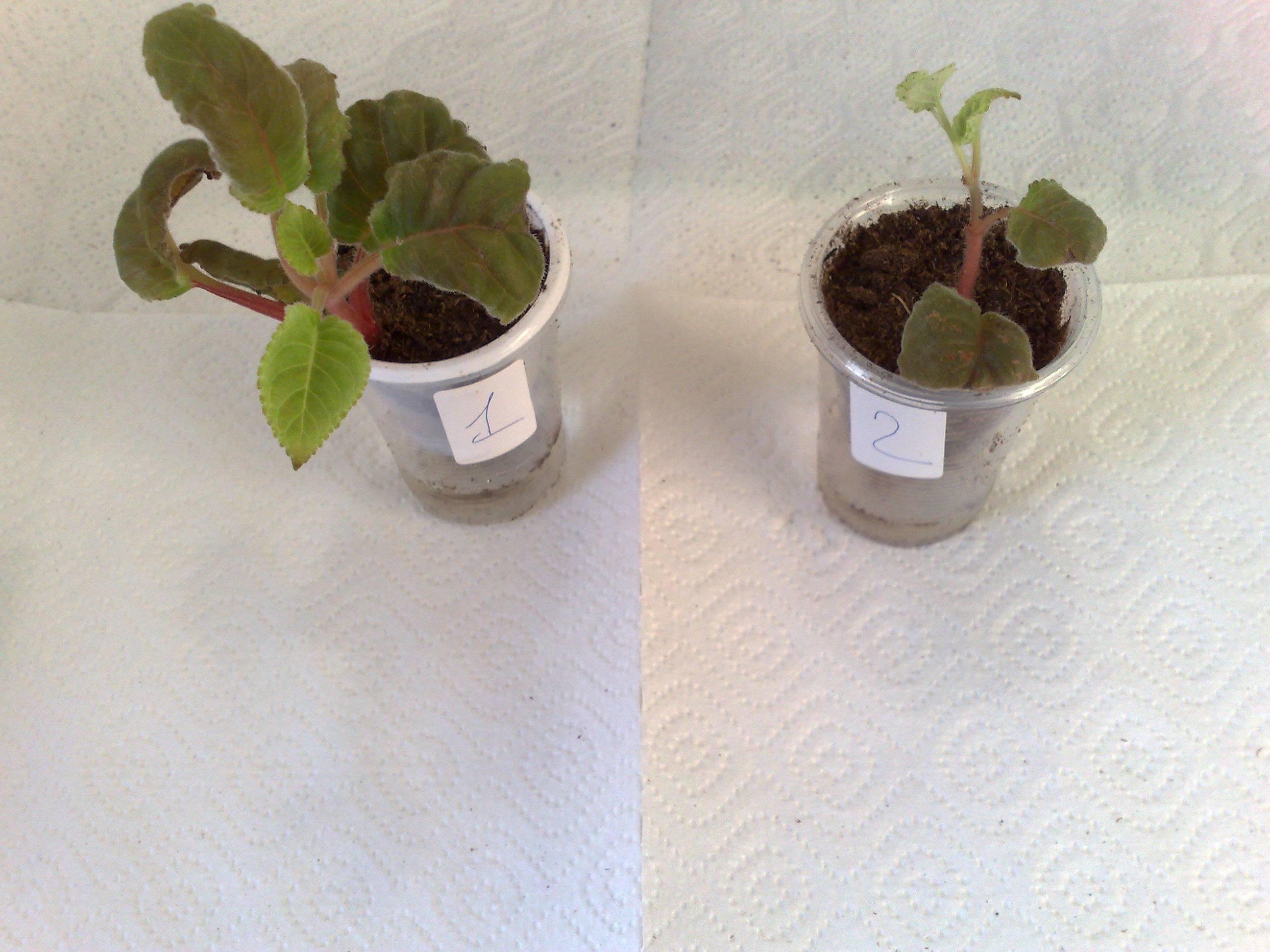 Как посадить глоксинию из листа, как правильно укоренить растение в земле, что бы оно не пропало, фото