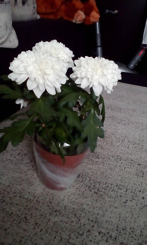 Хризантема комнатная: выращивание, уход и размножение в горшке в домашних условиях