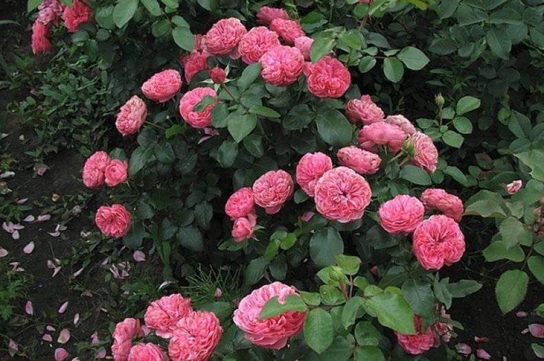 Сорт полиантовой розы-флорибунда леонардо да винчи: как посадить и ухаживать