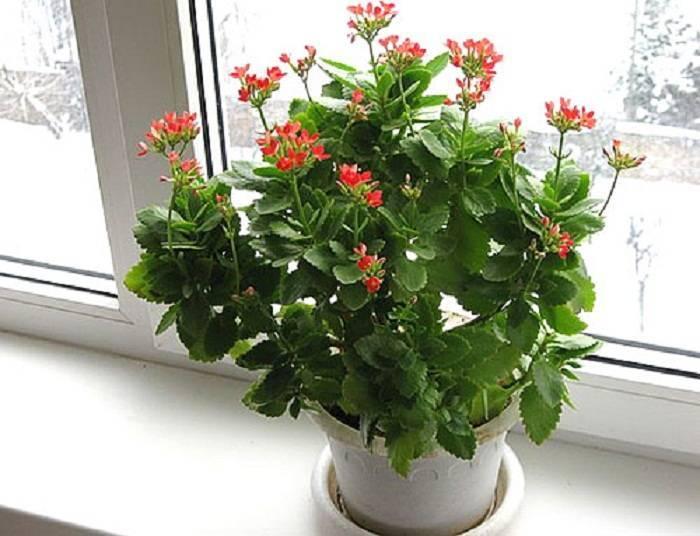 Почему не цветет каланхоэ в домашних условиях, как заставить его цвести долго и пышно